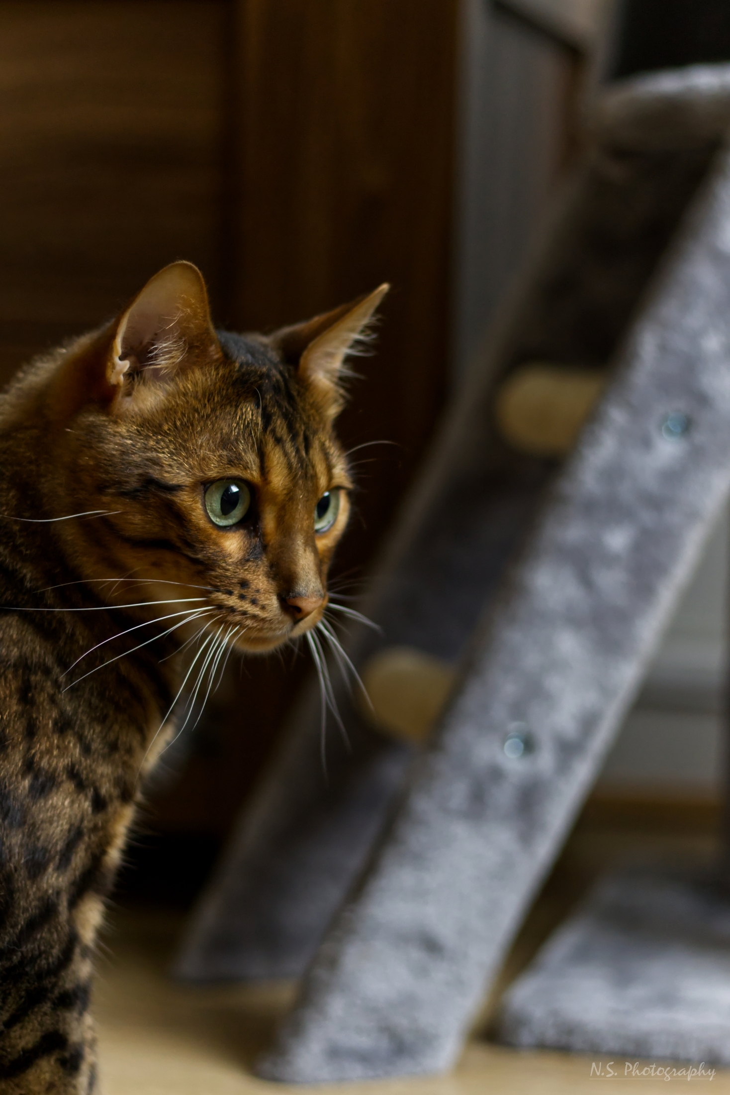 Rocky the bengal cat